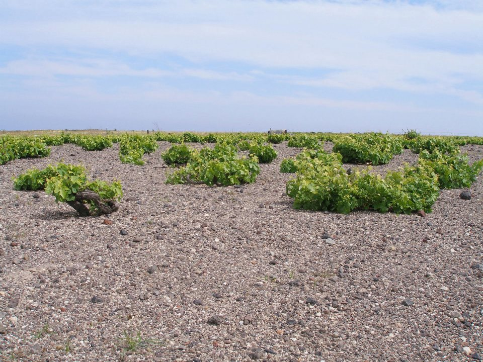 Vineyards on the Greek Island of Santorini